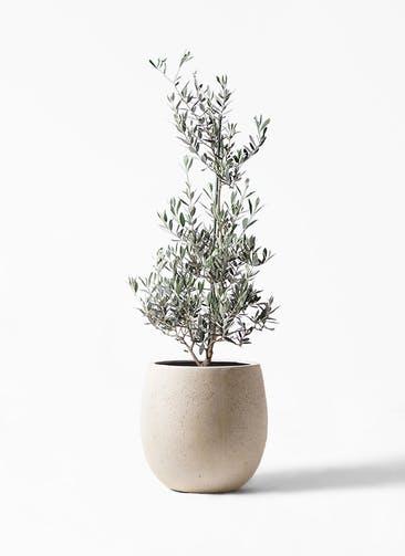 観葉植物 オリーブの木 8号 ピクアル テラニアス バルーン アンティークホワイト 付き