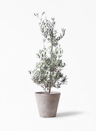 観葉植物 オリーブの木 8号 ピクアル アートストーン ラウンド グレー 付き