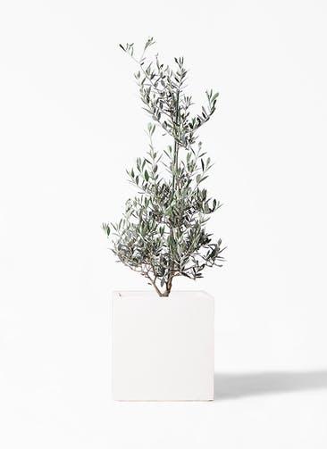 観葉植物 オリーブの木 8号 ピクアル バスク キューブ 付き