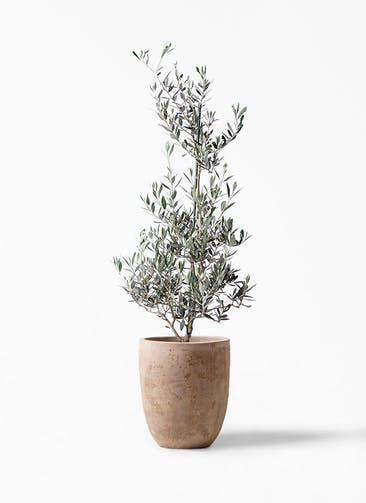 観葉植物 オリーブの木 8号 ピクアル ルーガ アンティコ アルトエッグ 付き
