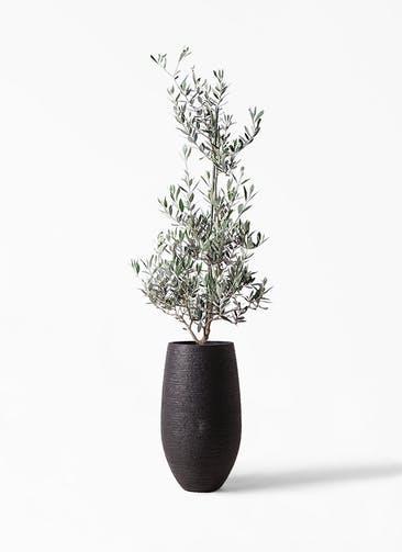 観葉植物 オリーブの木 8号 ピクアル フォンティーヌトール 黒 付き