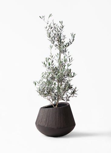 観葉植物 オリーブの木 8号 ピクアル エディラウンド 黒 付き