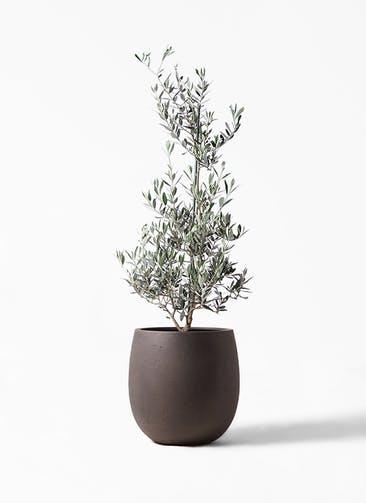 観葉植物 オリーブの木 8号 ピクアル テラニアス バルーン アンティークブラウン 付き