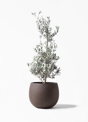 観葉植物 オリーブの木 8号 ピクアル テラニアス ローバルーン アンティークブラウン 付き