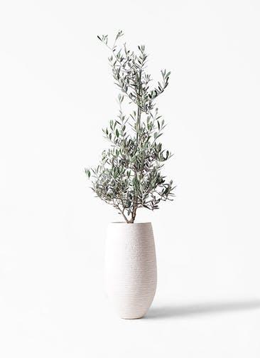 観葉植物 オリーブの木 8号 ピクアル フォンティーヌトール 白 付き