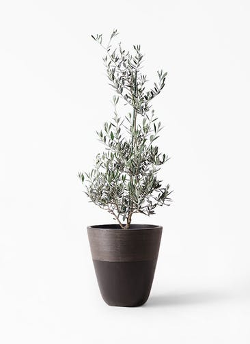 観葉植物 オリーブの木 8号 ピクアル ジュピター 黒 付き
