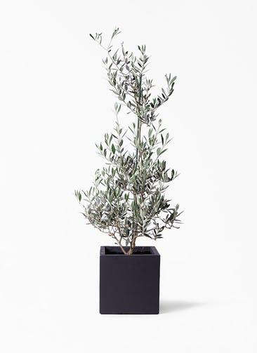 観葉植物 オリーブの木 8号 ピクアル ベータ キューブプランター 黒 付き
