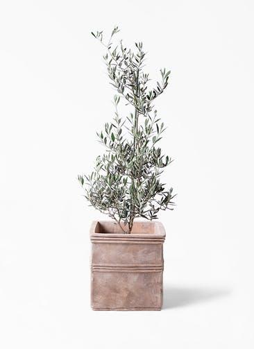 観葉植物 オリーブの木 8号 ピクアル テラアストラ カペラキュビ 赤茶色 付き