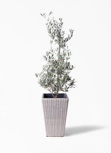 観葉植物 オリーブの木 8号 ピクアル ウィッカーポット スクエアロング OT 白 付き