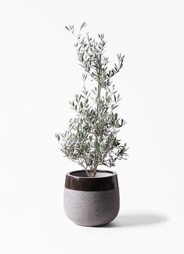 観葉植物 オリーブの木 8号 ピクアル ファイバーストーンタウルス 黒 付き