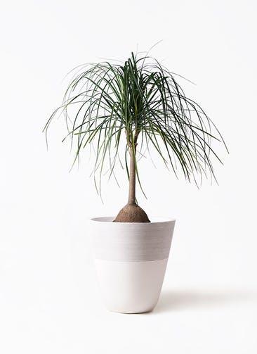 観葉植物 トックリヤシ 10号 ジュピター 白 付き