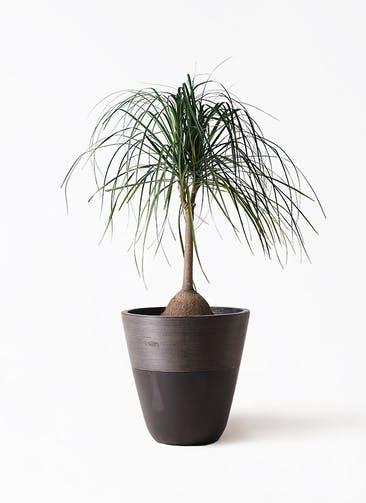 観葉植物 トックリヤシ 10号 ジュピター 黒 付き