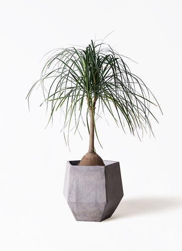 観葉植物 トックリヤシ 10号 ファイバークレイGray 付き