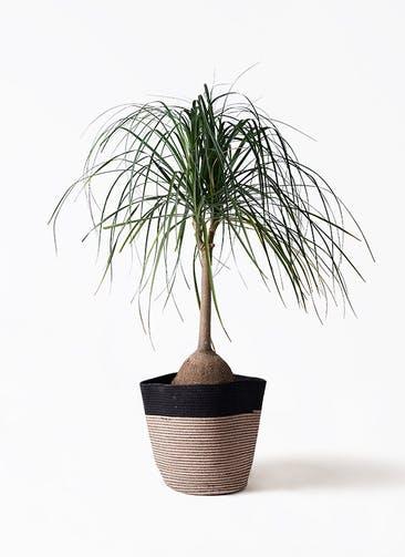 観葉植物 トックリヤシ 10号 リブバスケットNatural and Black 付き