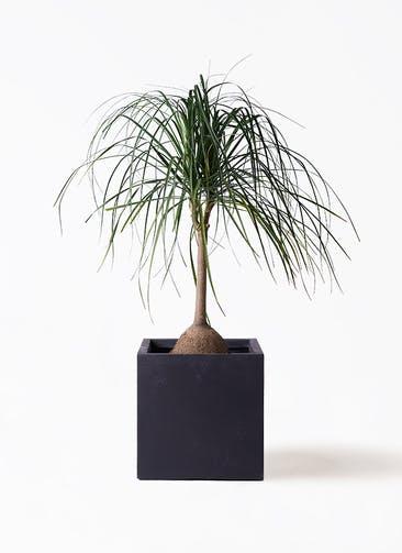 観葉植物 トックリヤシ 10号 ベータ キューブプランター 黒 付き