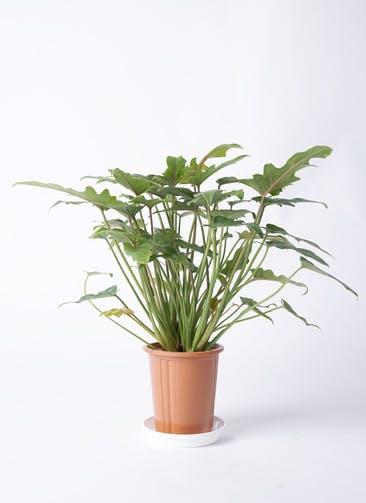 観葉植物 クッカバラ 4号 プラスチック鉢