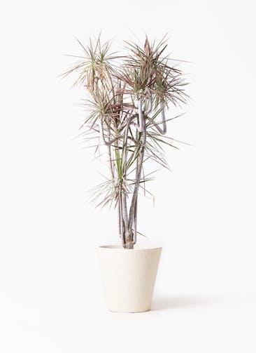 観葉植物 ドラセナ コンシンネ レインボー 10号 曲り フォリオソリッド クリーム 付き