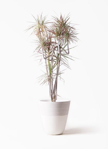 観葉植物 ドラセナ コンシンネ レインボー 10号 曲り ジュピター 白 付き