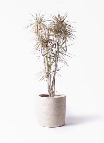 観葉植物 ドラセナ コンシンネ レインボー 10号 曲り サンディ シリンダー 白 付き