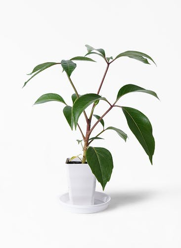 観葉植物 ツピダンサス 3.5号 ボサ造り プラスチック鉢