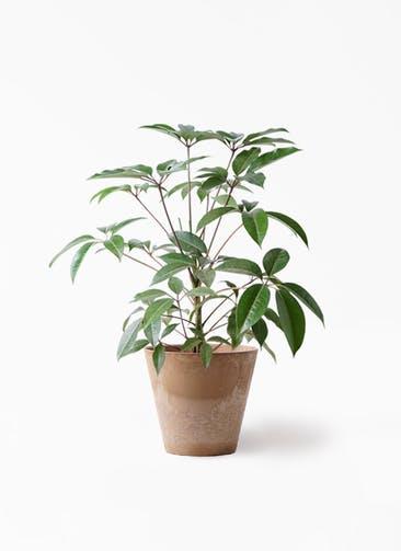 観葉植物 ツピダンサス 8号 ボサ造り アートストーン ラウンド ベージュ 付き