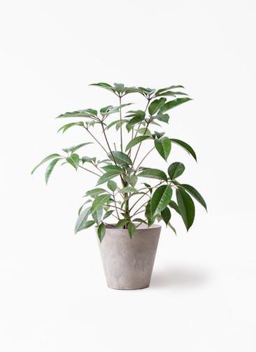 観葉植物 ツピダンサス 8号 ボサ造り アートストーン ラウンド グレー 付き