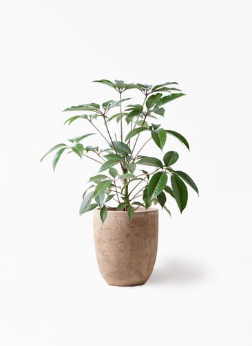 観葉植物 ツピダンサス 8号 ボサ造り ルーガ アンティコ アルトエッグ 付き