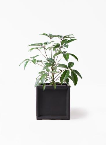 観葉植物 ツピダンサス 8号 ボサ造り ブリティッシュキューブ 付き