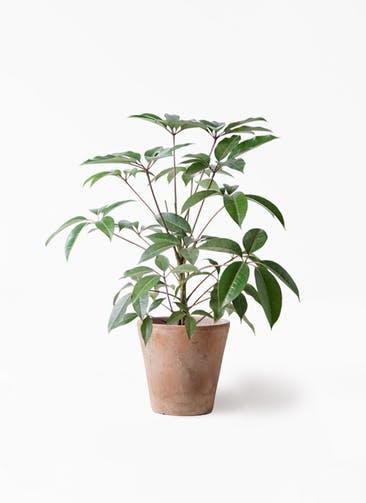 観葉植物 ツピダンサス 8号 ボサ造り ルーガ アンティコ ソリッド 付き
