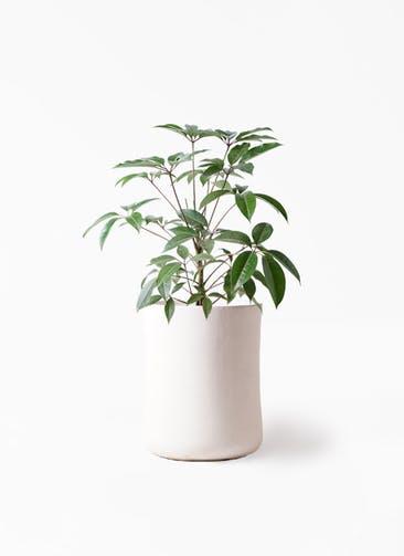観葉植物 ツピダンサス 8号 ボサ造り バスク ミドル ホワイト 付き