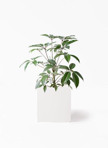 観葉植物 ツピダンサス 8号 ボサ造り バスク キューブ 付き