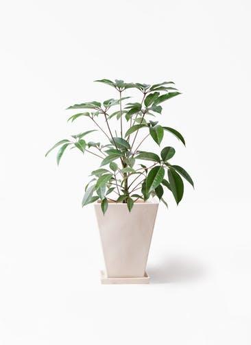 観葉植物 ツピダンサス 8号 ボサ造り スクエアハット 白 付き