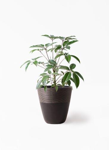 観葉植物 ツピダンサス 8号 ボサ造り ジュピター 黒 付き