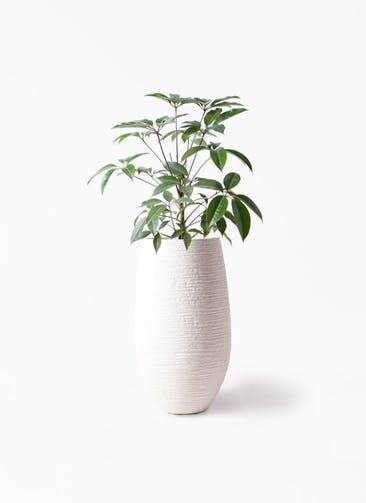 観葉植物 ツピダンサス 8号 ボサ造り フォンティーヌトール 白 付き