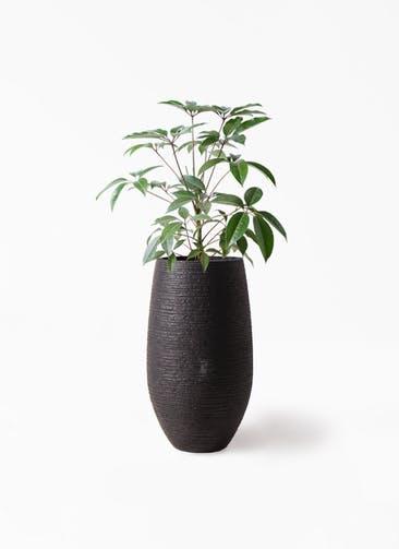 観葉植物 ツピダンサス 8号 ボサ造り フォンティーヌトール 黒 付き
