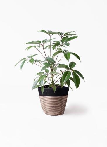観葉植物 ツピダンサス 8号 ボサ造り リブバスケットNatural and Black 付き