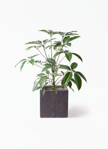 観葉植物 ツピダンサス 8号 ボサ造り ベータ キューブプランター ウッド 茶 付き