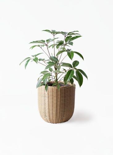 観葉植物 ツピダンサス 8号 ボサ造り ウィッカーポットエッグ ベージュ 付き