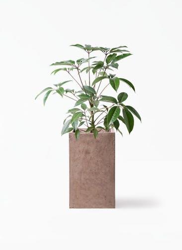 観葉植物 ツピダンサス 8号 ボサ造り セドナロング グレイ 付き