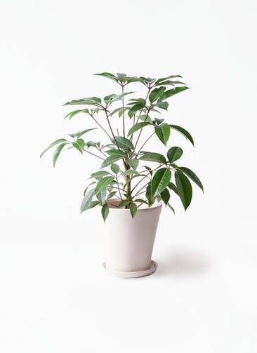観葉植物 ツピダンサス 8号 ボサ造り サブリナ 白 付き