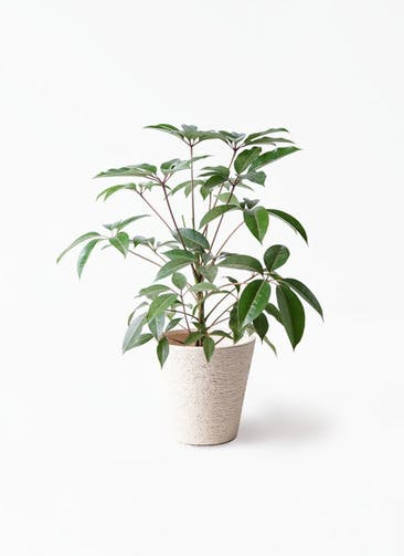 観葉植物 ツピダンサス 8号 ボサ造り ビアスソリッド 白 付き