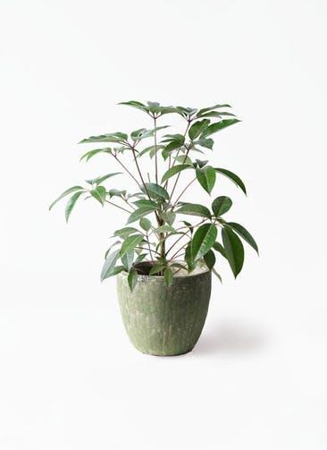 観葉植物 ツピダンサス 8号 ボサ造り アビスソニアミドル 緑 付き