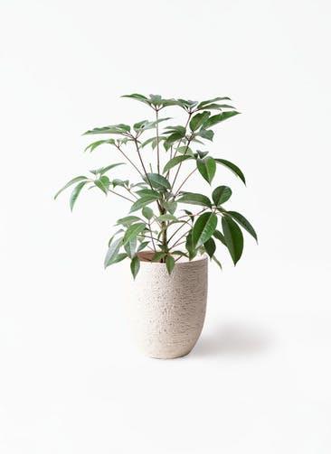 観葉植物 ツピダンサス 8号 ボサ造り ビアスアルトエッグ 白 付き