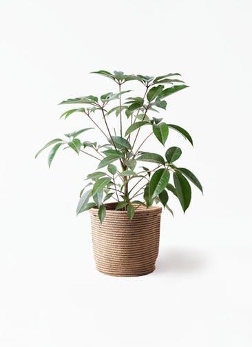 観葉植物 ツピダンサス 8号 ボサ造り リブバスケットNatural 付き