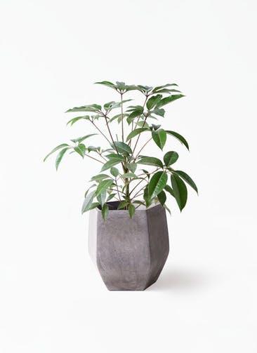 観葉植物 ツピダンサス 8号 ボサ造り ファイバークレイ Gray 付き