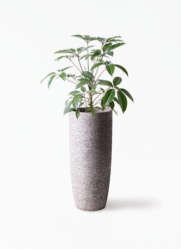 観葉植物 ツピダンサス 8号 ボサ造り エコストーントールタイプ Gray 付き