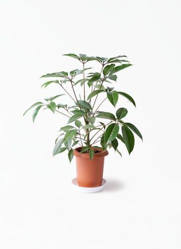 観葉植物 ツピダンサス 8号 ボサ造り プラスチック鉢