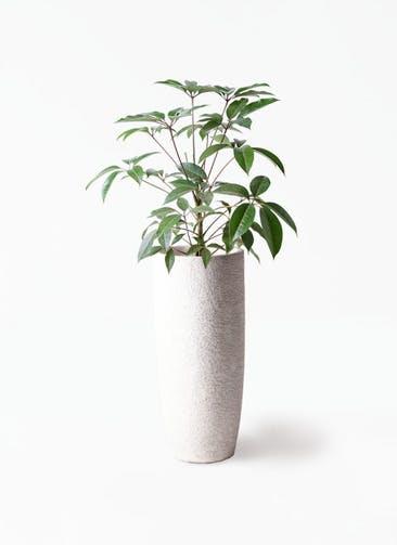 観葉植物 ツピダンサス 8号 ボサ造り エコストーントールタイプ white 付き