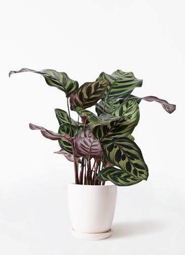 観葉植物 カラテア マコヤナ 4号 アステア トール ホワイト 付き