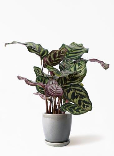 観葉植物 カラテア マコヤナ 4号 アステア トール ライトグレー 付き
